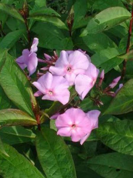 Phlox paniculé 'Lilac Time'