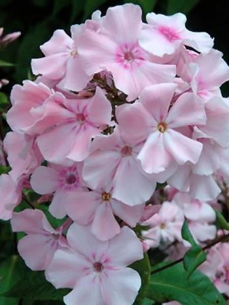 Phlox paniculé 'Rosa Pastel'