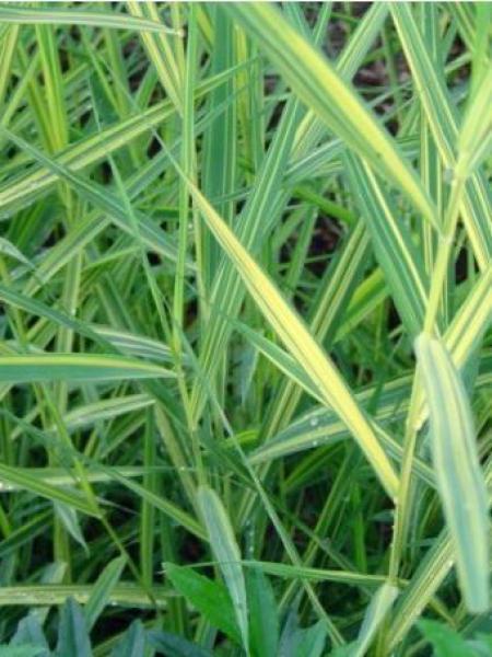 Phragmites australis 'Variegatus'