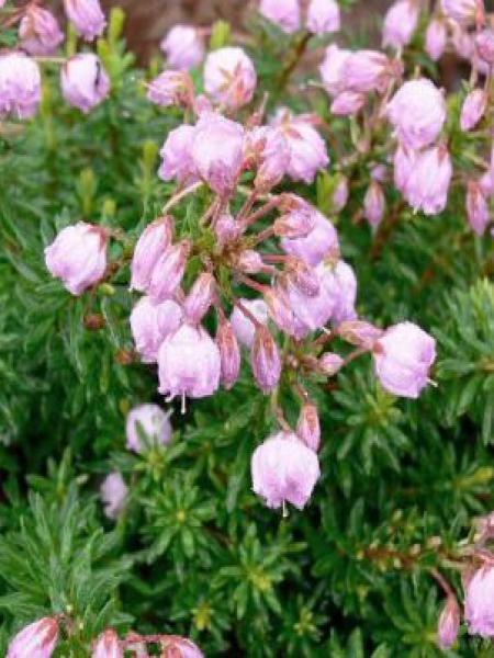 Phylliopsis hillieri 'Sprite'
