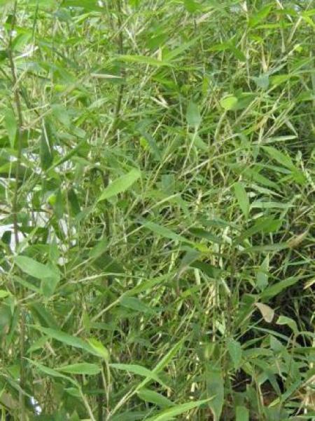 Phyllostachys atrovaginata 'Green Perfume'