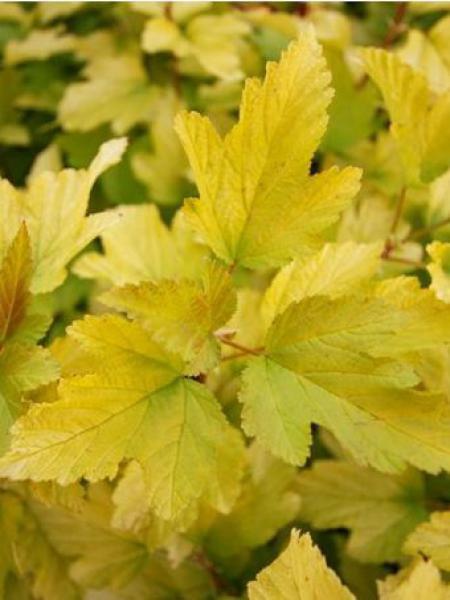 Physocarpe à feuilles d'Obier 'Angel Gold'®