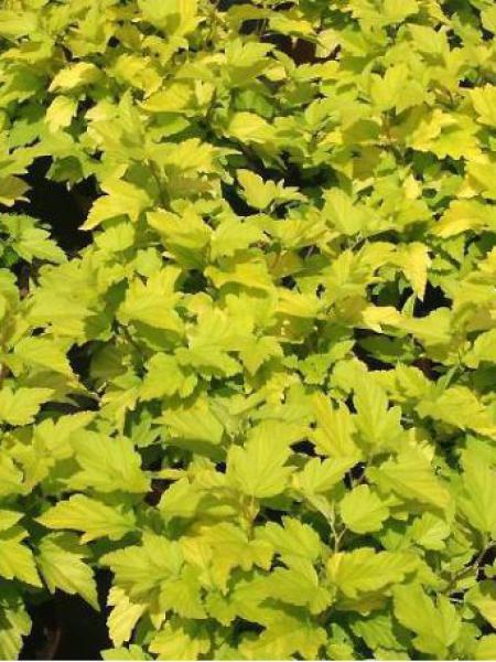 Physocarpe à feuilles d'Obier 'Dart's Gold'