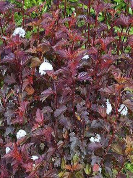 Physocarpe feuilles d 39 obier diable d 39 or 39 mindia 39 physocarpus opulifolius le jardin du pic - Arbre a feuille rouge persistant ...