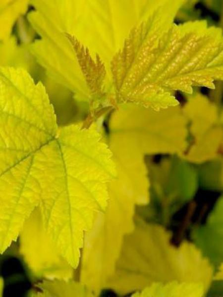 Physocarpe à feuilles d'Obier 'Nugget'