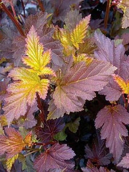 Physocarpe à feuilles d'Obier 'Red Baron'