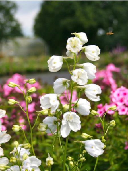 Pied d'Alouette belladone 'Schneewitchen'