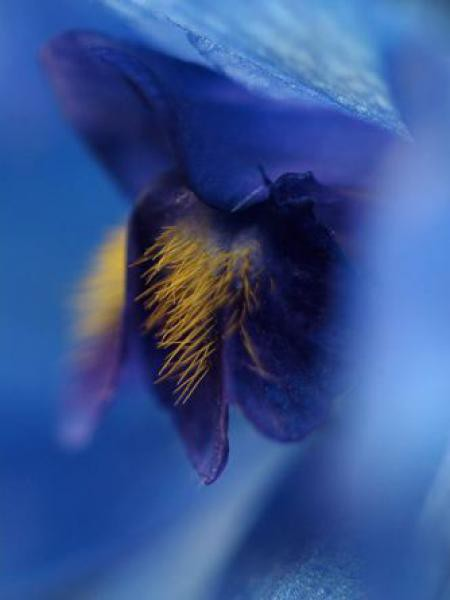 Pied d'Alouette belladone 'Völkerfrieden'