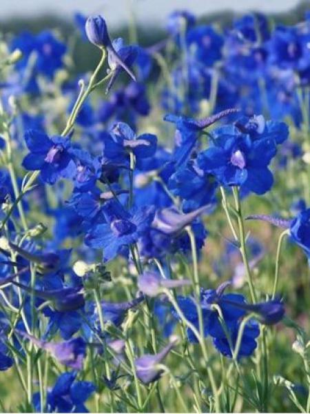 Pied d'alouette de Chine 'Blauer Zwerg'
