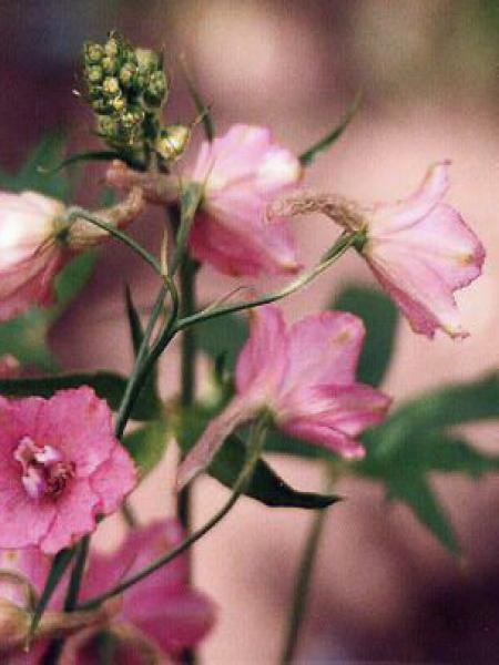 Pied d'Alouette ruysii 'Pink Sensation'