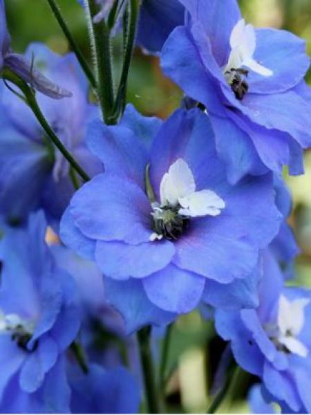 Pied d'Alouette vivace 'Blue Bird'