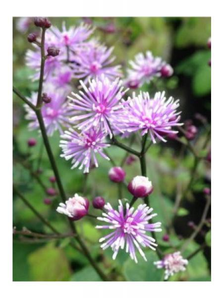 Pigamon 'Perfume Star'