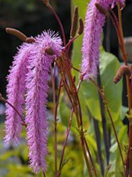 Pimprenelle hakusanensis