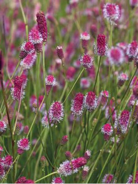 Pimprenelle officinale 'Pink Tanna'