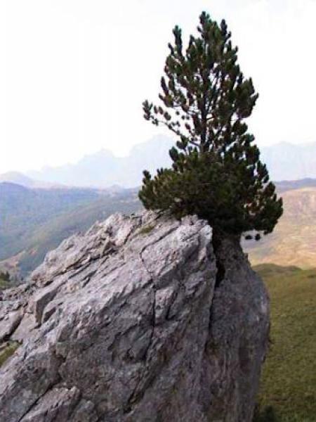 Pin de montagne 'Uncinata'