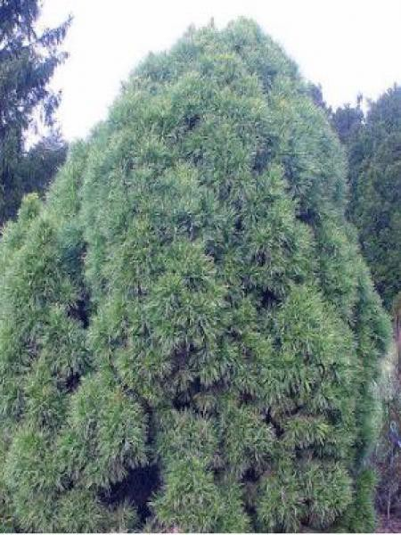 Pin sylvestre 'Globosa Viridis'