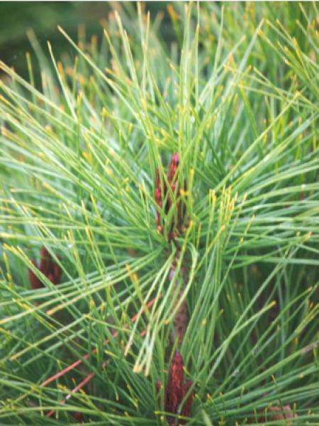 Pinus densiflora 'Alice Verkade'