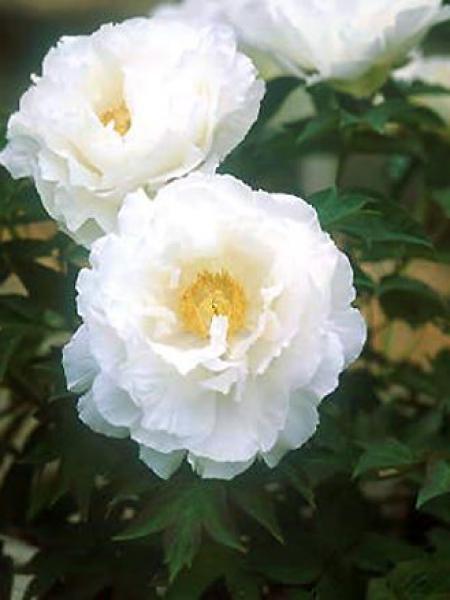 Pivoine arbustive '-blanche-'