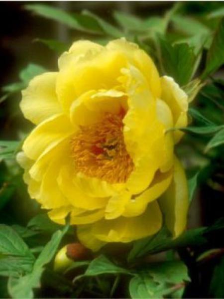Pivoine arbustive -jaune-