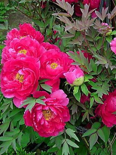 Pivoine arbustive '-rose franc-'