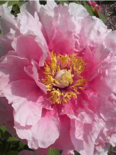 Pivoine arbustive '-rose pâle-'