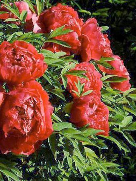 Pivoine arbustive '-rouge clair-'