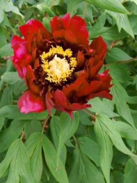 Pivoine arbustive '-rouge foncé-'