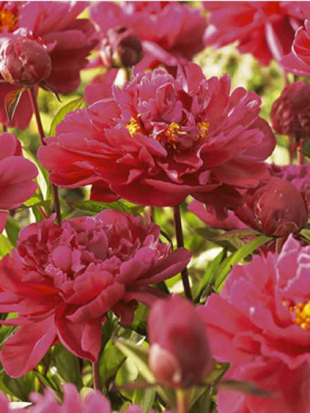 Pivoine de Chine 'General Mac Mahon'