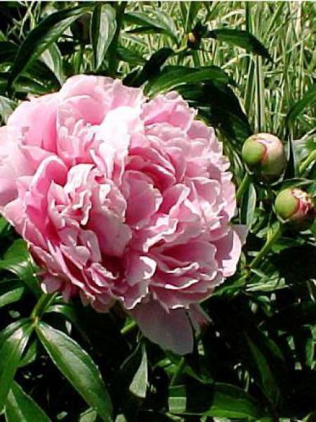 Pivoine de Chine 'Sarah Bernhardt'