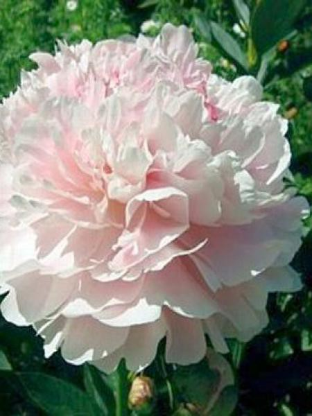 Pivoine de Chine 'Shirley Temple'