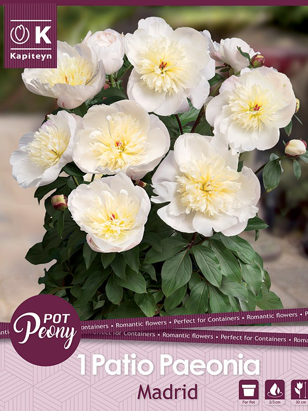 Pivoine 'Madrid'