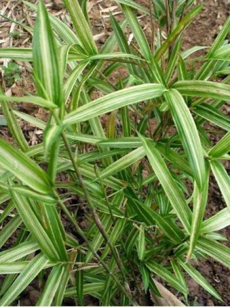Pleioblastus chino 'Tsuboi'