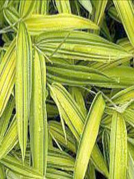 Pleioblastus viridistriatus 'Vagans'