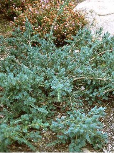 Podocarpus lawrencii 'Blue Gem'