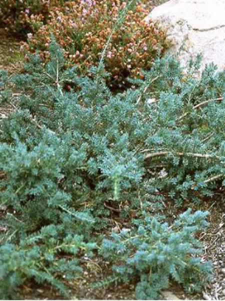 Podocarpus lawrencii 'Blue Gem'