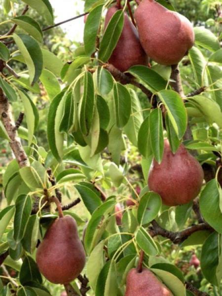 Pyrus poirier achat en ligne sur jardin du pic vert - Taille du poirier william ...