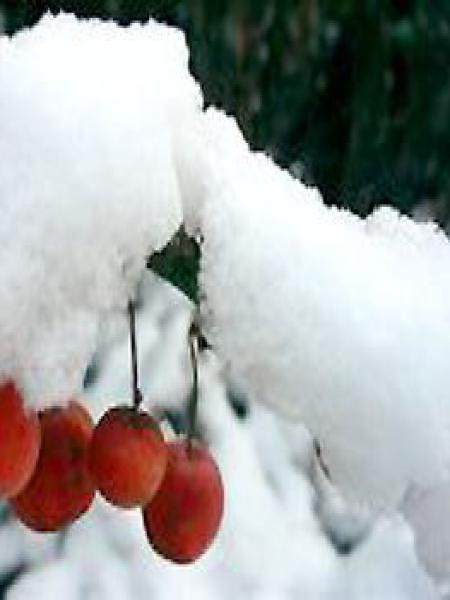 Pommier d'ornement Evereste® 'Perpetu'