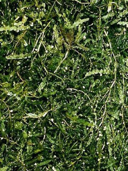 Potamot à feuilles crépues