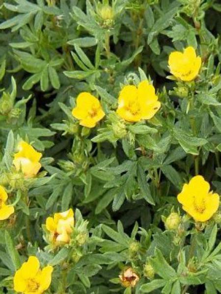 Potentille arbustive 'Kobold'