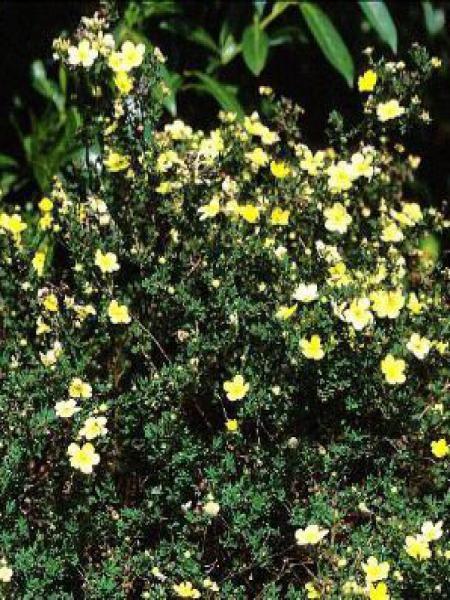 Potentille arbustive 'Longacre'