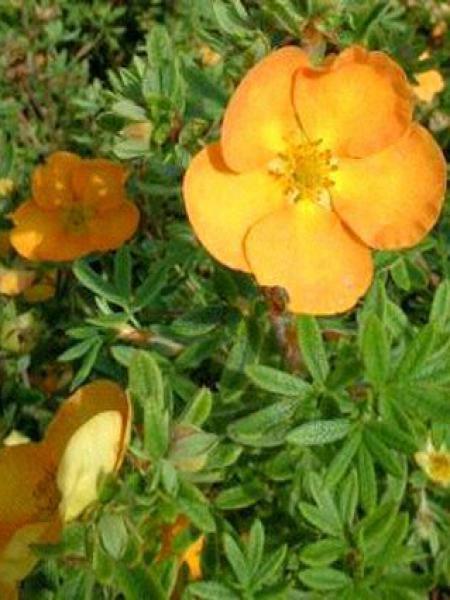 Potentille arbustive 'Tangerine'