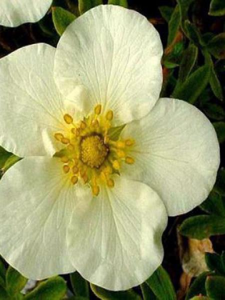Potentille arbustive 'Tilford Cream'
