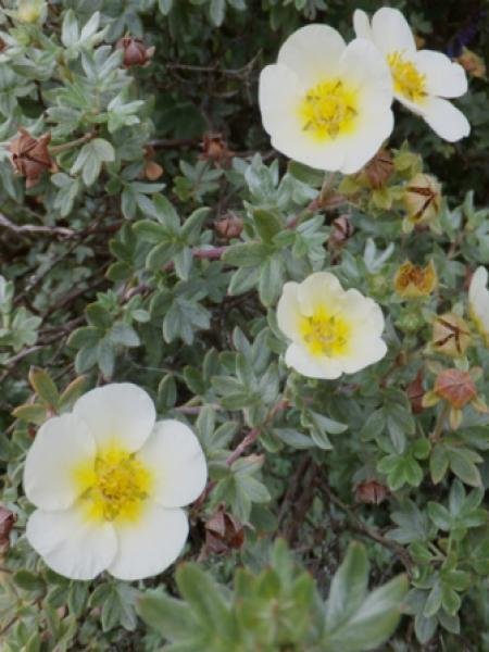 Potentille arbustive 'Vilmoriniana'