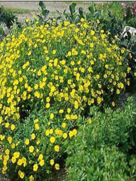 Potentille vivace jaune