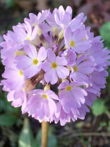 Primevère denticulée 'Lilac'