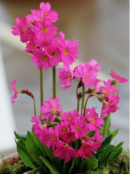 Primevère rose 'Grandiflora'