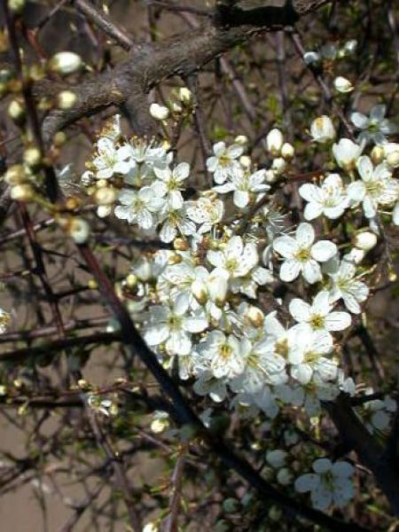 Prunellier, Épine noire