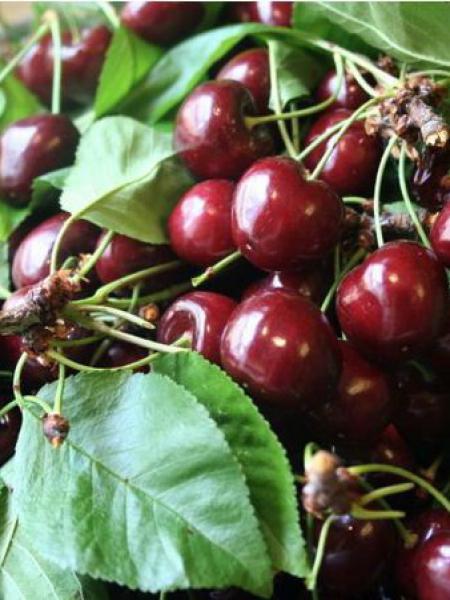 Prunus cerasus '-nain-'