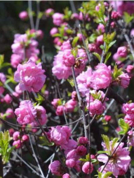 Prunus glandulosa 'Sinensis'