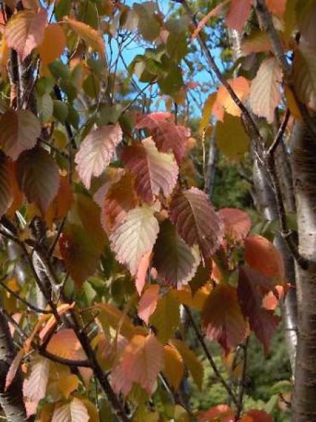 Prunus hillieri 'Spire'